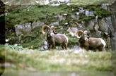 Big Horn Sheep - Click For More Critters